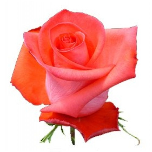фото роза импульс