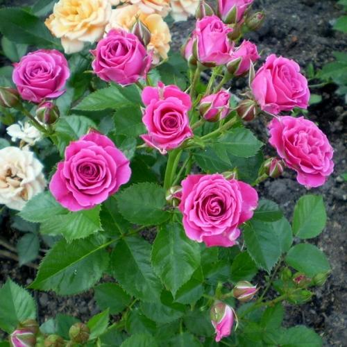 роза спрей лидия фото описание