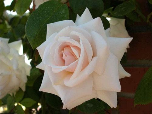 Роза анна фото и описание